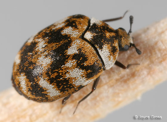 Carpet Beetle Anthrenus Verbasci Bugguide Net