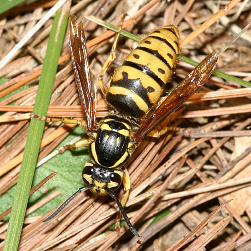 Queen of the Yellow-Haired Yellowjacket - Vespula flavopilosa - female