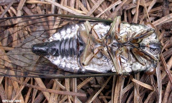 Tibicen robinsonianus - Neotibicen robinsonianus - male