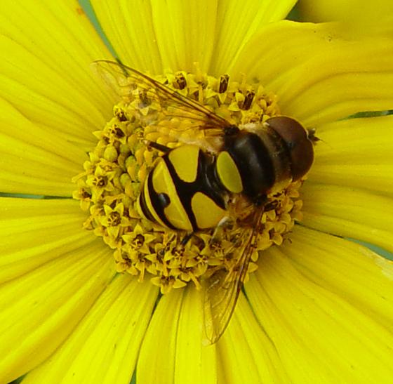 Syrphidae - Eristalis transversa
