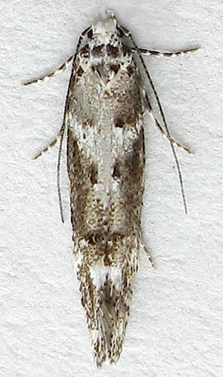 Twirler Moth - Argyrolacia bifida