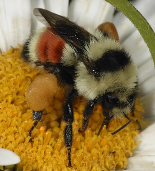 Bombus huntii - female