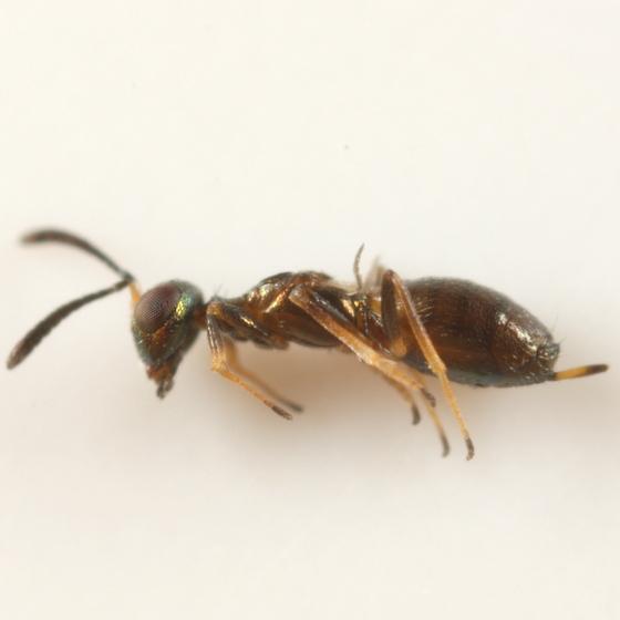 Brachypterous ?eupelmid parasitoid of Calycomyza solidaginis - Eupelmus messene - female