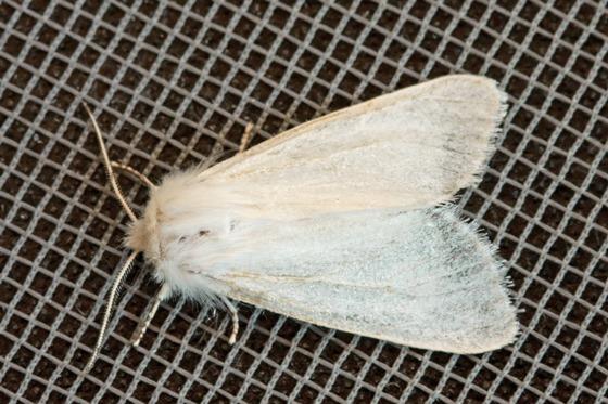 Unidentified white moth - Spilosoma virginica