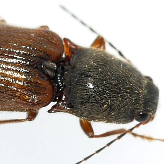 Click Beetle - Hemicrepidius decoloratus