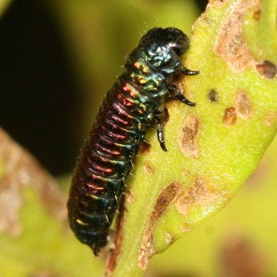 iridescent larva - Trirhabda bacharidis