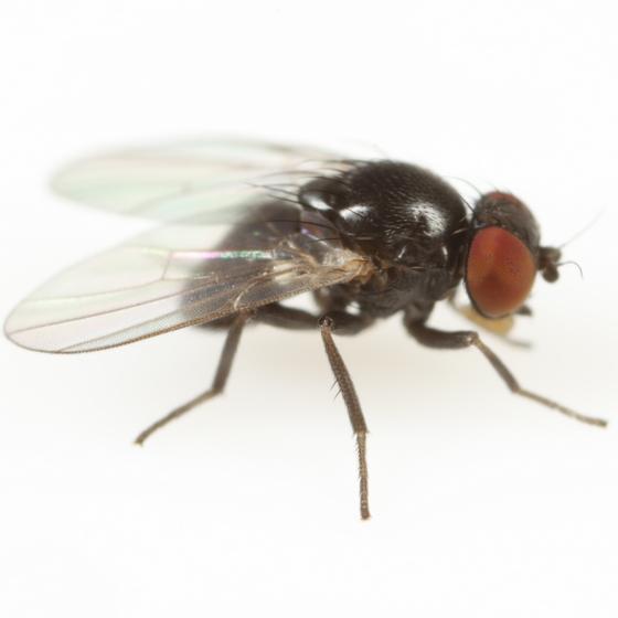 Agromyza arundinariae - male