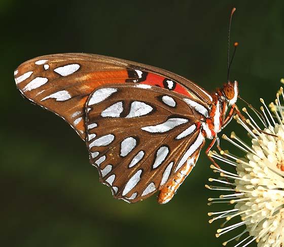 Gulf Fritillary Butterfly - Agraulis vanillae