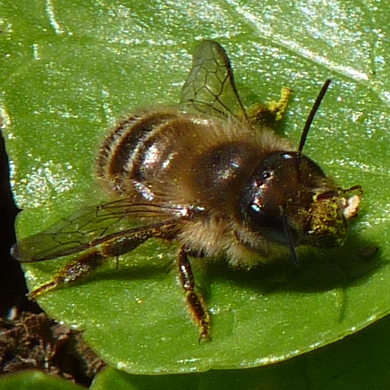 Unidentified bee - Osmia cornifrons