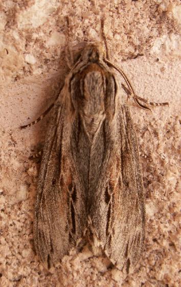 Moth, Top View - Isoparce cupressi