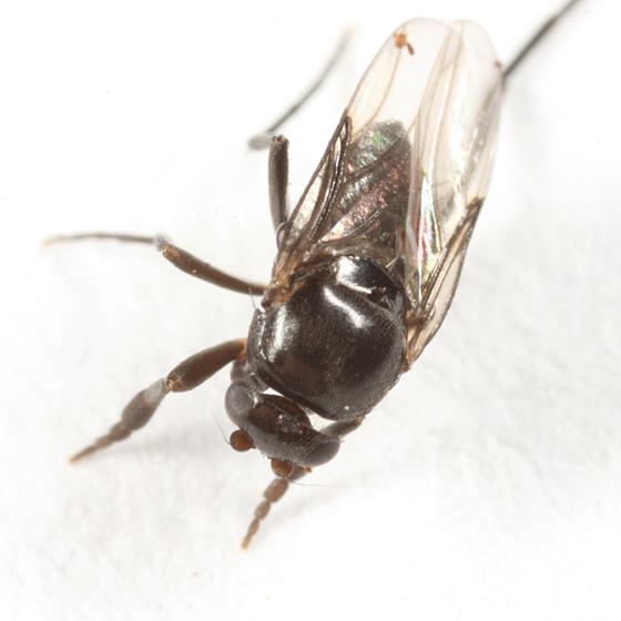 Phoridae? - Aenigmatias eurynotus - male