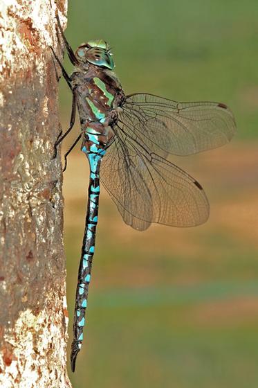 Green-striped Darner male side view - Aeshna verticalis - male