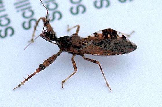 Spined Assassin Bug - Sinea diadema