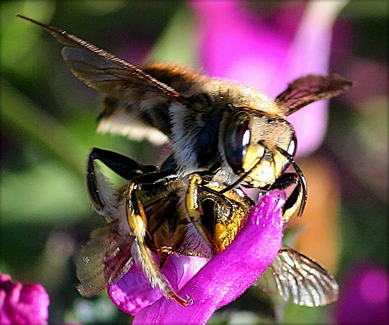 Male & Female Wool Carder Bees - Anthidium manicatum - male - female