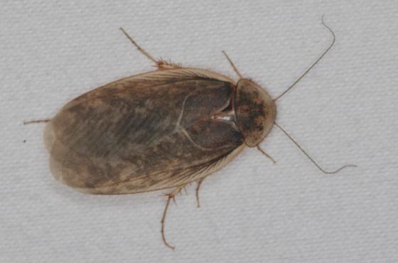 Sand Cockroach - Arenivaga