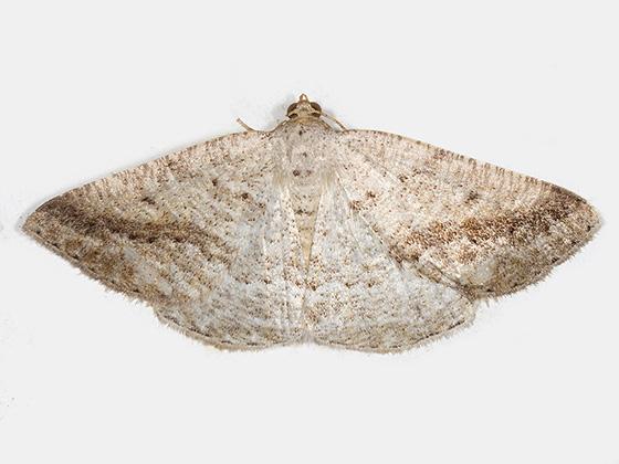 Pale Alder - Hodges#6807 - Tacparia detersata