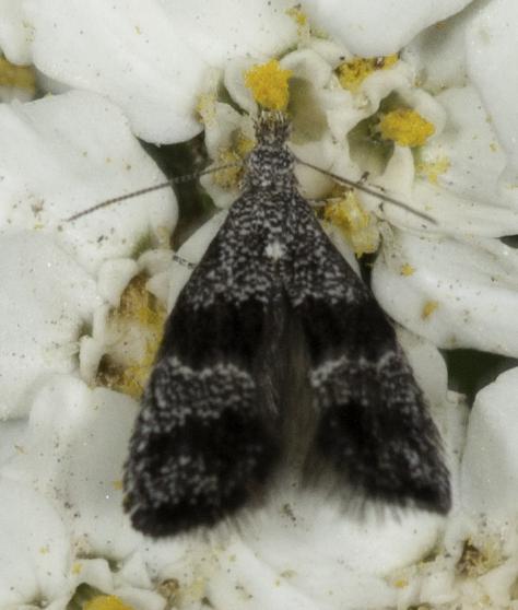 Tiny wing flicker on Millefoil - Tinagma