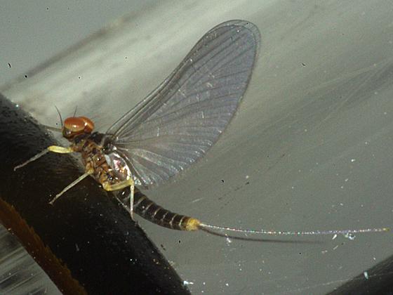 Small Minnow Mayfly - male