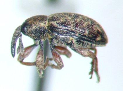 Weevil - Smicronyx
