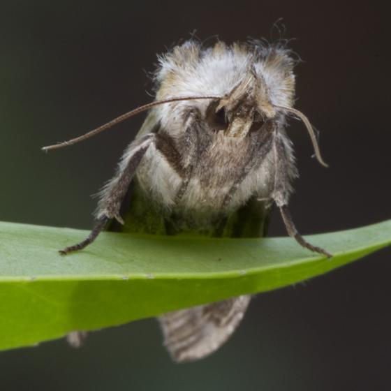 gray with yellow moth - Dasylophia