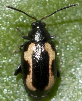 Flea Beetle - Phyllotreta striolata