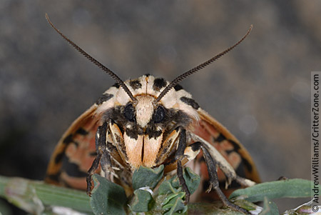 Peek-a-Boo Tiger Moth - Apantesis