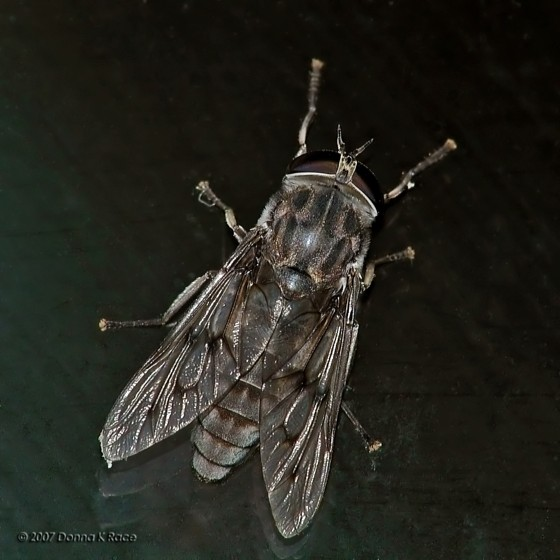 Horse or Deer Fly? - Tabanus nigrescens