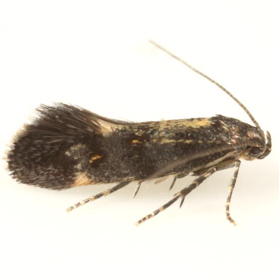 Chrysoesthia sexguttella