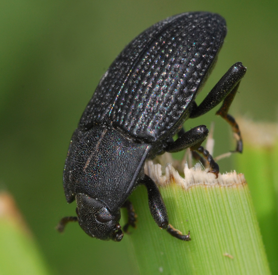 darkling beetle? - Alaetrinus minimus