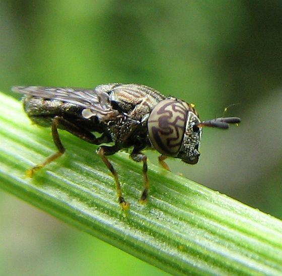 Orthonevra - Orthonevra nitida - male