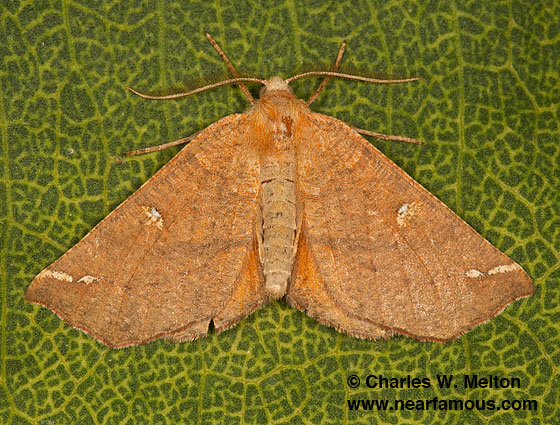 Caripeta macularia - male