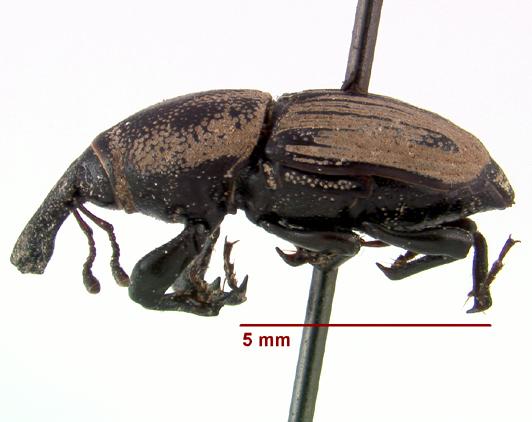LSAM billbug 14 - Sphenophorus compressirostris