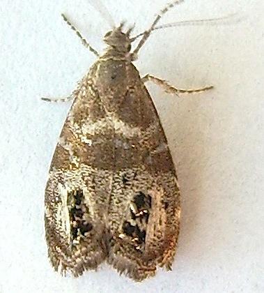 Meadow Moth - Caloreas apocynoglossa