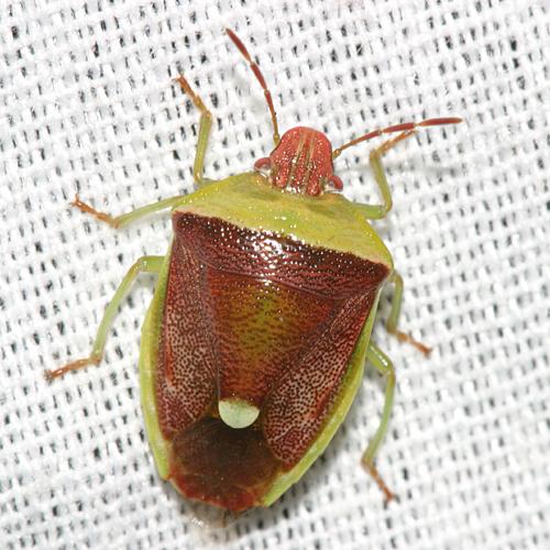Stink Bug - Banasa dimidiata