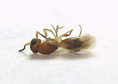 Tiny Parasitic Wasp - Conostigmus - female