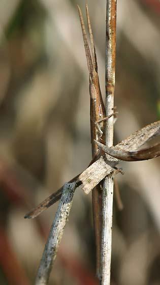 Toothpick Grasshopper - Achurum carinatum - female
