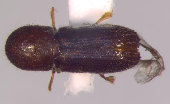 Scolytinae - dorsal - Xyleborinus saxesenii
