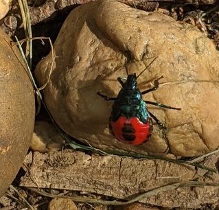 Brian's backyard beetle (stinkbug?)