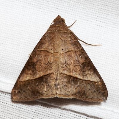 Small Mocis Moth - Hodges #8743 - Mocis latipes