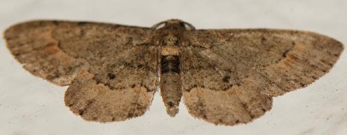 UID MOTH - Glenoides texanaria - male