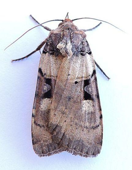 Arizona Moth - Richia herculeana