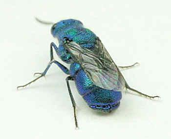 Chrysididae -? - Ceratochrysis