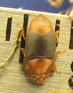 Carpophilus sp., Yucca Beetle - Carpophilus melanopterus