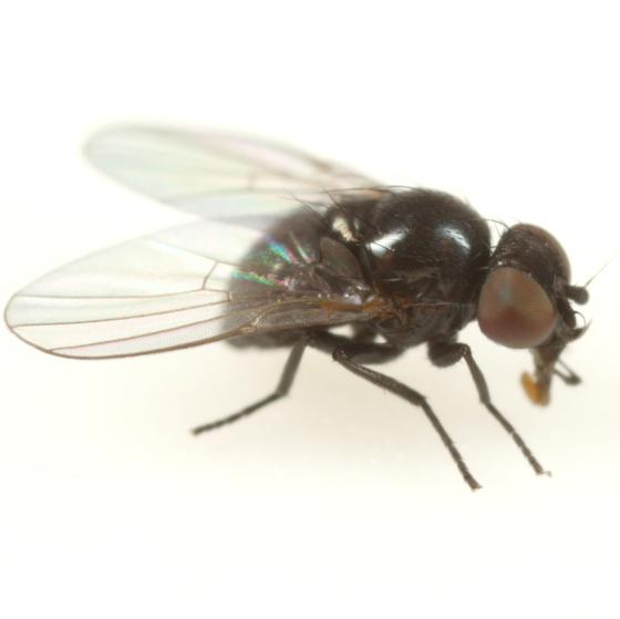 Ophiomyia antennariae - male