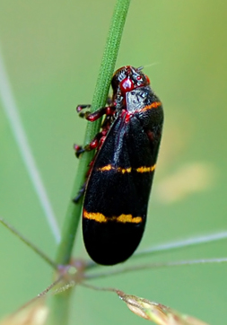 Small Hopper #1 ? - Prosapia bicincta