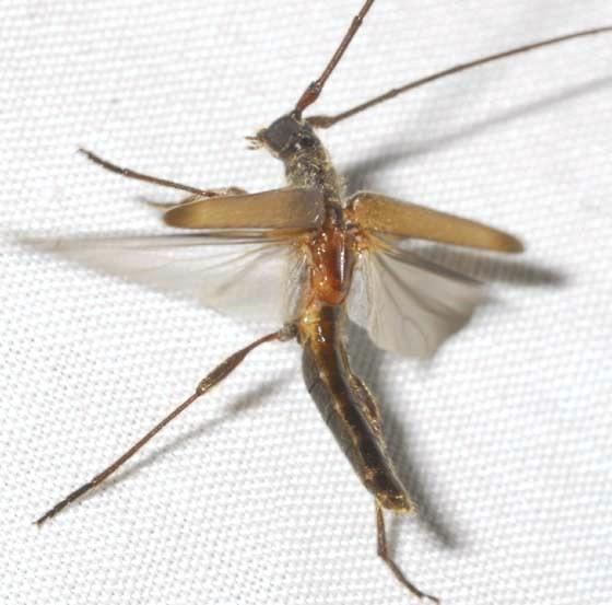 Styloxus f. fulleri (Horn) - Styloxus fulleri