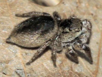 Jumping Spider - Habronattus borealis - female
