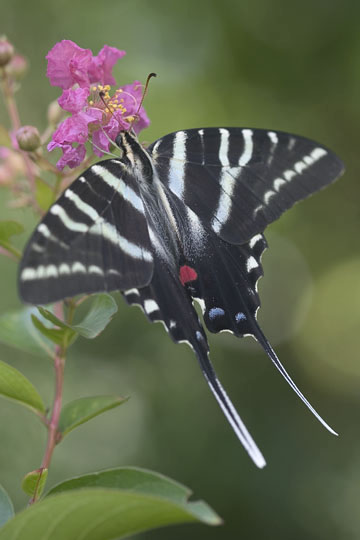 Zebra Swallowtail - Summer form adult.  Note the long tails ... - Eurytides marcellus - female