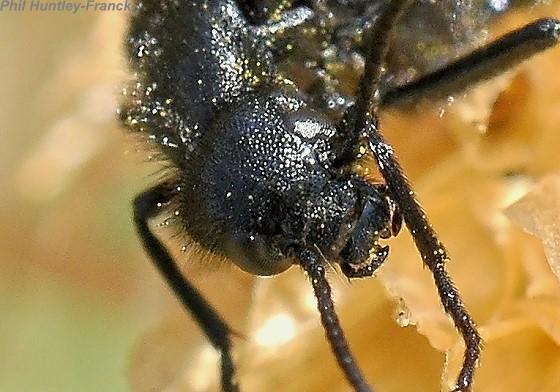 beetle - Epicauta puncticollis