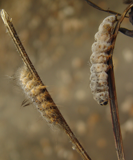 Dead caterpillars
